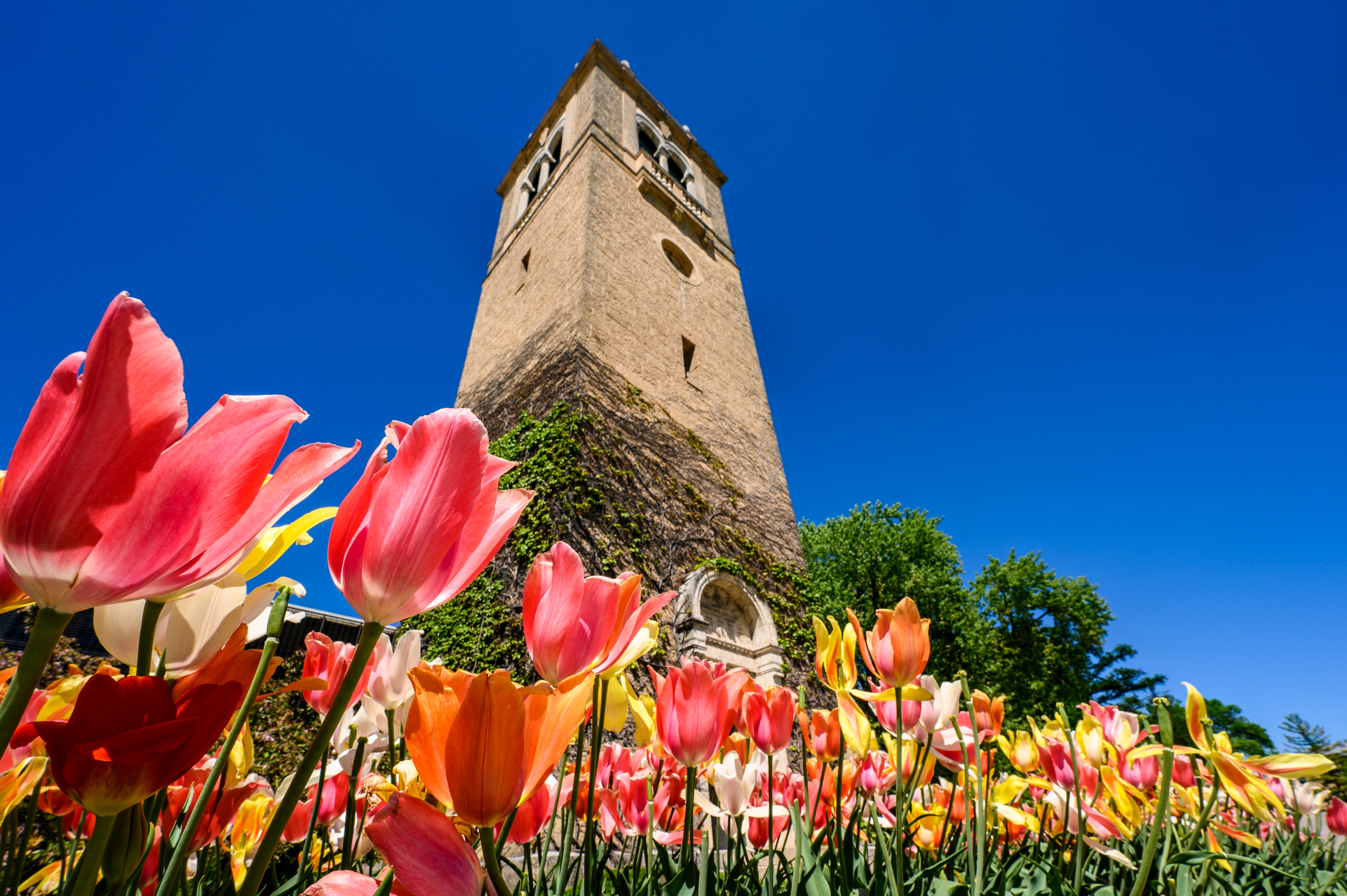 The Carillon Tower in front of the Social Sciences building with tulips in the foreground